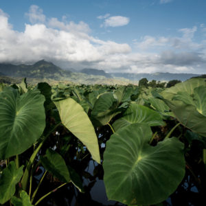 Photograph of a kalo field in Hawaii with mountains in the background.